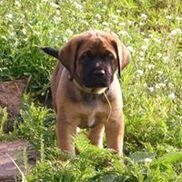 Mastador Puppies Hinckley Area Alignable