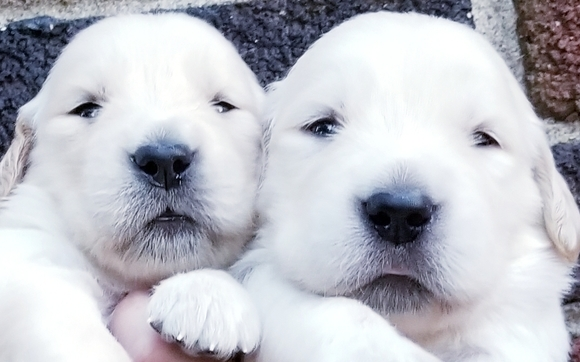 English Cream Golden Retriever Puppies By Coventry Bernese And