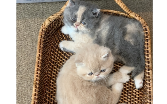 Exotic Shorthair Kittens by MehereKitty in Midland, TX - Alignable