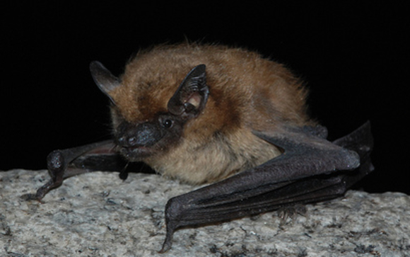 While Bats Can Be Helpful In Reducing The Insect Potion Around Your Home They Don T Belong Inside We Are Experts At Sealing All Access Points And