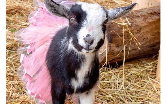Image result for Private goat
