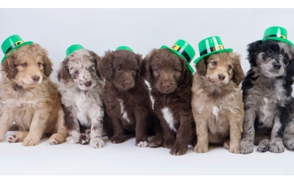 Mini Aussiedoodle Puppies By Pawssiedoodlecom In Parker Co Alignable